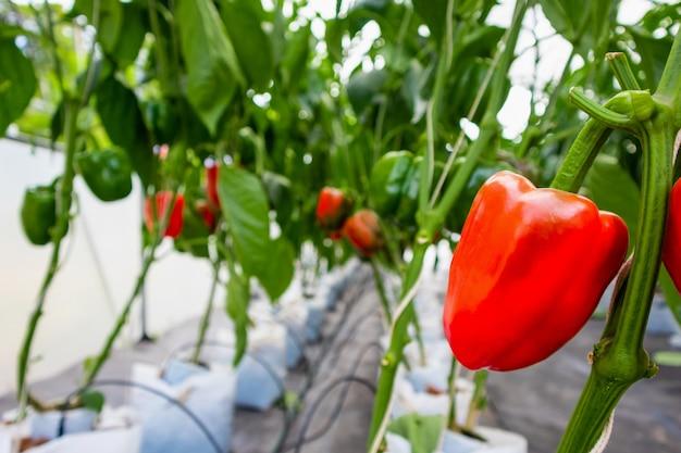 Peperoni dolci rossi freschi con foglie verdi che crescono in serra agricola giardino