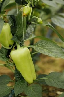 Peperoni verdi del primo piano che crescono nell'azienda agricola