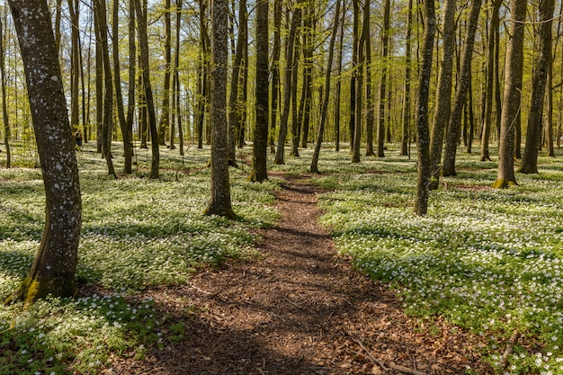 Percorso attraverso i fiori di primavera nella foresta di faggi