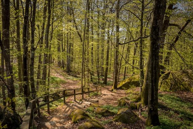 Percorso attraverso la foresta di faggi a larvik, norvegia. fagus sylvatica