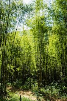 Percorso per la foresta di bambù, passaggio pedonale