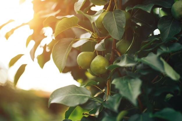 Pere mature che appendono su un ramo di albero, cibo vegetariano, cibo biologico.