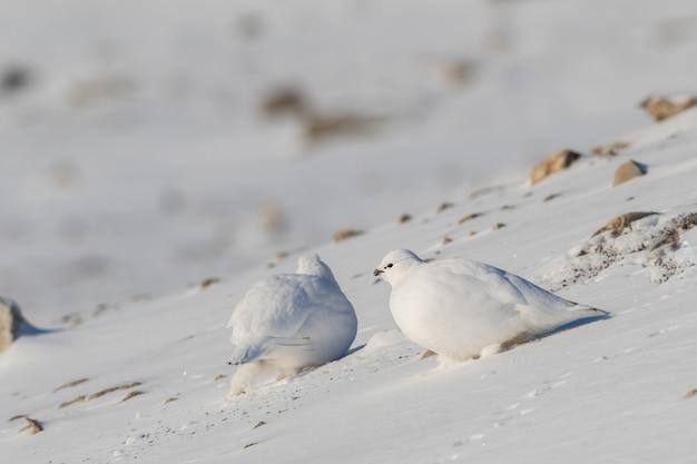 Pernice bianca delle svalbard, lagopus muta hyperborea, con piumaggio invernale, nella neve alle svalbard