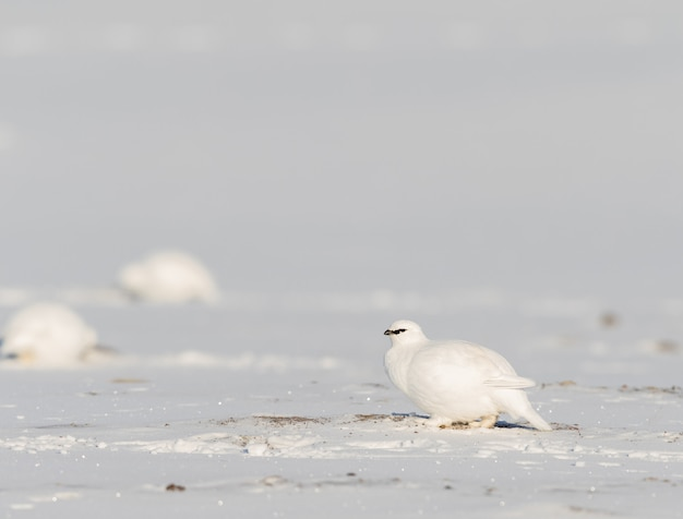 Pernice bianca delle svalbard, lagopus muta hyperborea, uccello con piumaggio invernale, nella neve alle svalbard