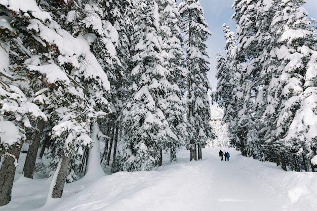Persone nella foresta di alberi di pino innevato