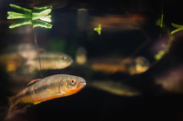 Pescare in un acquario su uno sfondo nero.