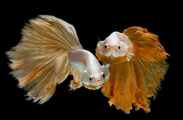 Pesce betta a mezzaluna lungo in argento dorato.