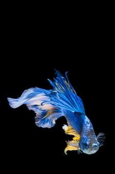 Pesce betta blu e giallo, pesce combattente siamese su sfondo nero