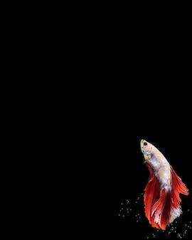 Pesce betta con disegno del vestito e spazio di copia