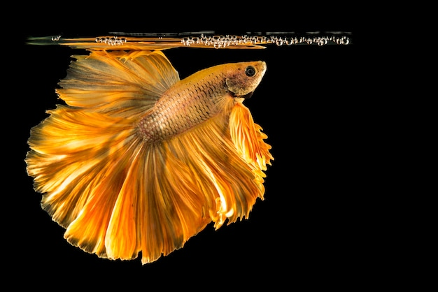 Pesce betta d'oro, pesce combattente, pesce combattente siamese isolato sul nero