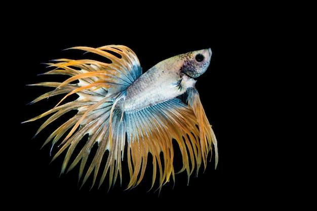 Pesce betta giallo e blu, pesce combattente siamese su sfondo nero