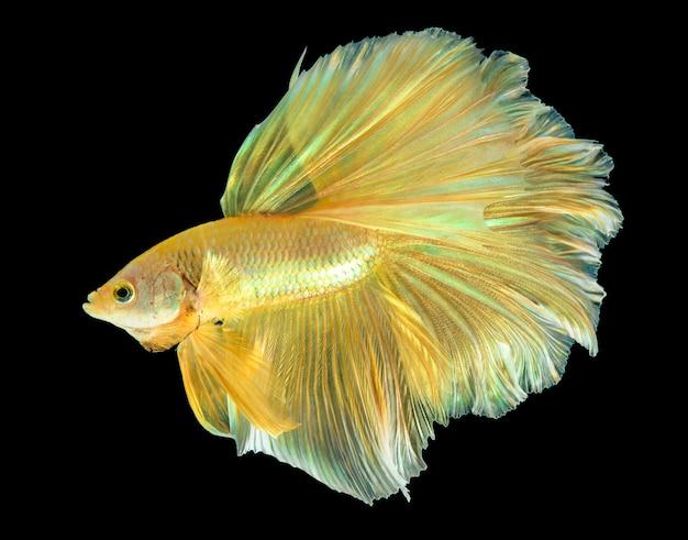 Pesce betta mezzaluna dorato sul nero, pesce combattente thailandia in colore oro sul nero isolato.