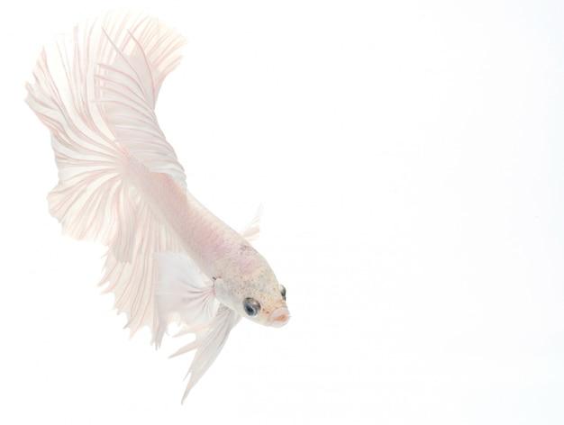 Pesce betta mezzaluna, pesce combattente siamese, cattura del pesce in movimento, astratto sfondo di coda di pesce