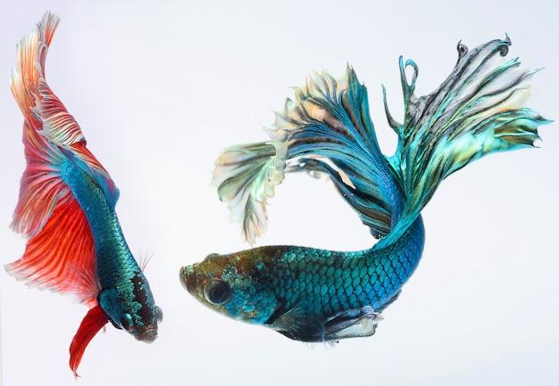 Pesce betta mezzaluna, pesce combattente siamese, cattura di pesci in movimento, betta splendens