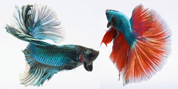 Pesce betta mezzaluna, pesce combattente siamese