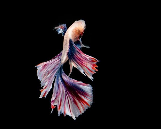 Pesce betta multicolore, pesce combattente siamese su sfondo nero