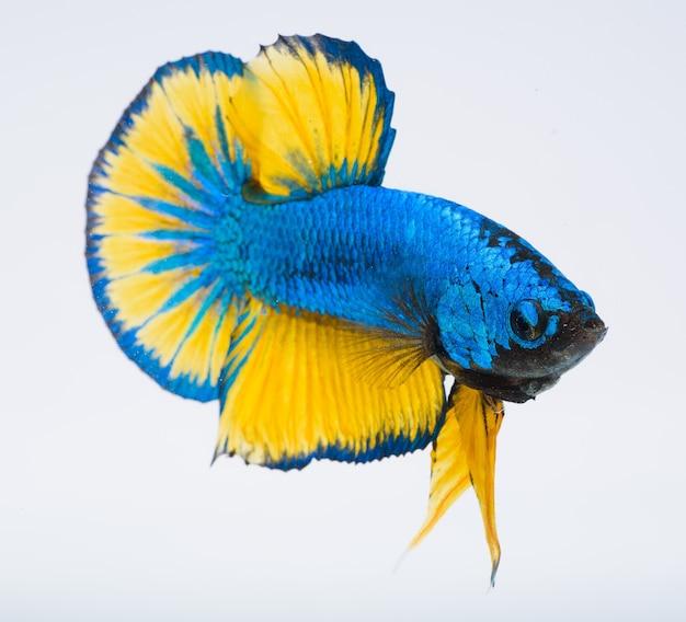 Pesce betta, pesce combattente siamese, cattura del pesce in movimento