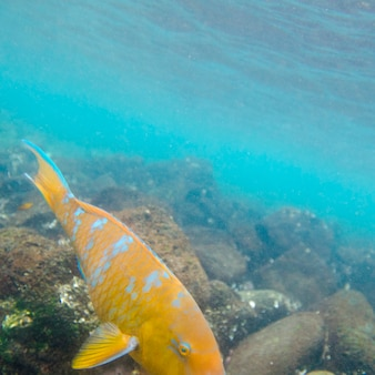 Pesce che nuota sott'acqua, puerto egas, santiago island, isole galapagos, ecuador