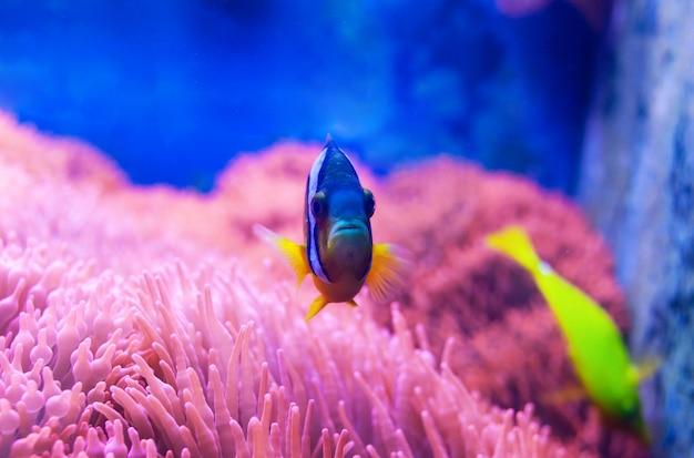 Pesce chirurgo blu tang