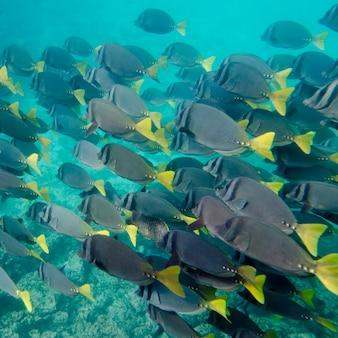 Pesce chirurgo (zebrasoma flavescens) che nuota sott'acqua, puerto egas, santiago island, isole galapagos, ecuador