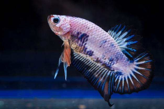 Pesce combattente (betta splendens)