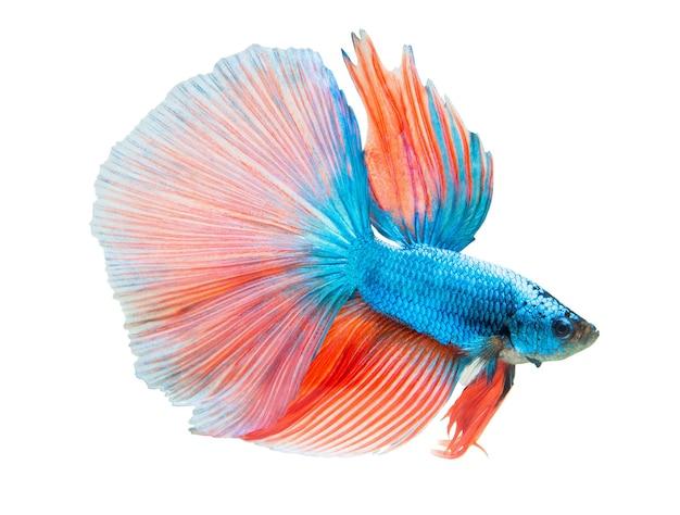 Pesce combattente blu e arancione isolato su bianco