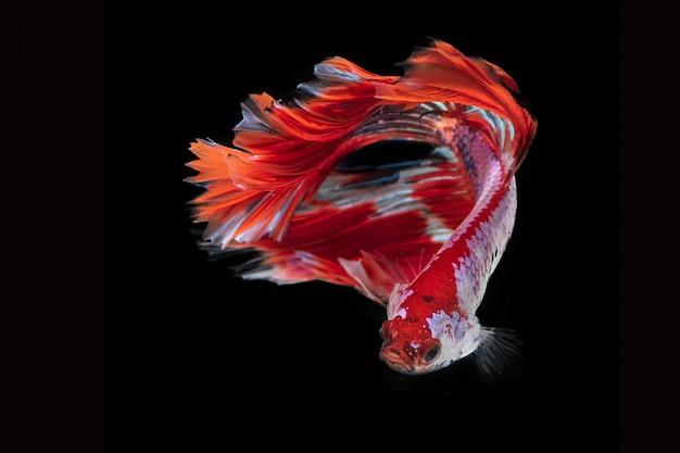 Pesce combattente di betta nel fondo nero