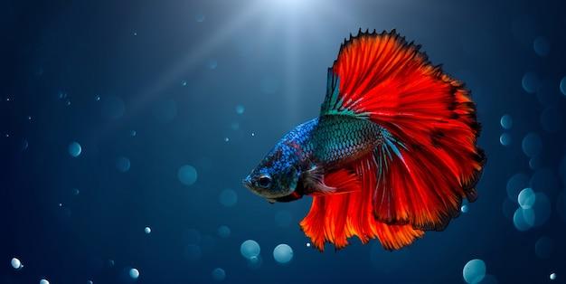 Pesce combattente rosso blu sfondo chiaro con bokeh