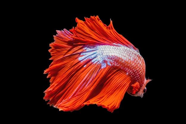 Pesce combattente siamese betta splendens halfmoon rosso isolato su sfondo nero.