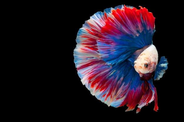 Pesce combattente siamese di betta, pesce acquario popolare tailandese. bandiera rossa bianca della tailandia blu