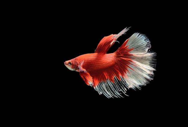 Pesce combattente siamese rosso e bianco, betta splendens