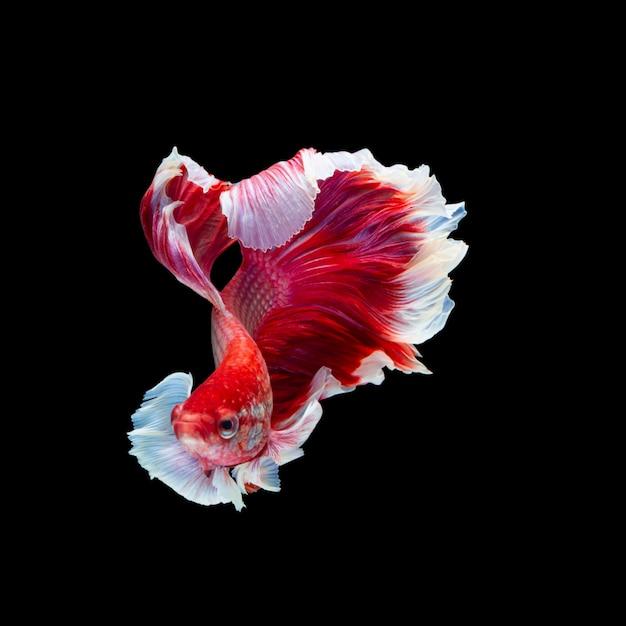 Pesce combattente siamese