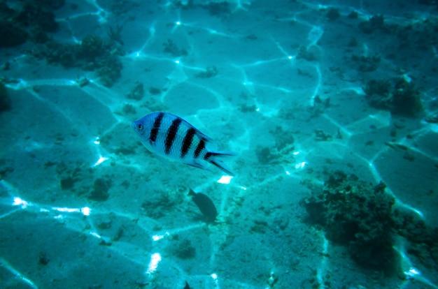 Pesce con strisce che nuotano nell'acqua