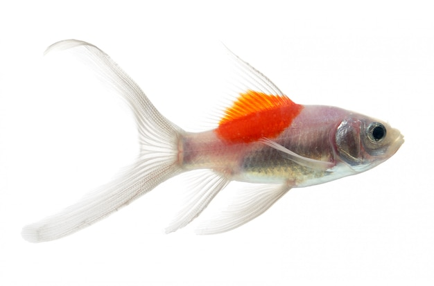 Pesce d'oro isolamento sullo spazio bianco
