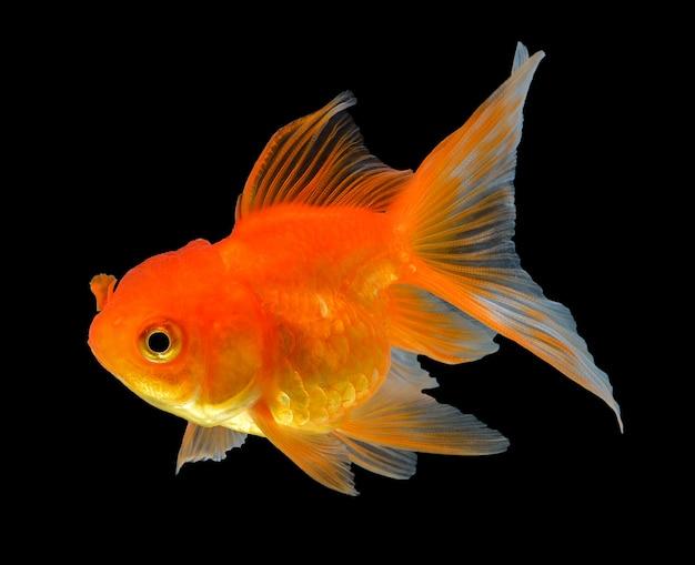 Pesce d'oro isolato su fondo nero