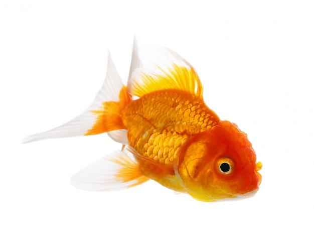 Pesce d'oro isolato su spazio bianco