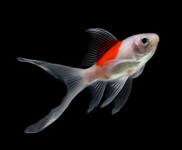 Pesce d'oro isolato su spazio nero