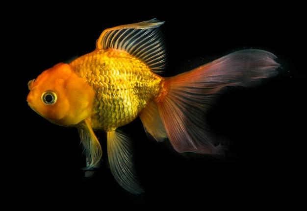 Pesce d'oro sul nero isolato, pesce rosso che nuota sul nero