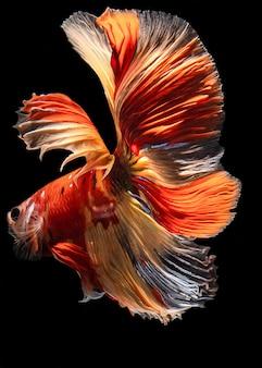 Pesce da combattimento simaese a mezzaluna a colori