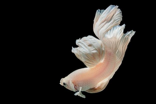 Pesce da combattimento simaese bianco di mezzaluna