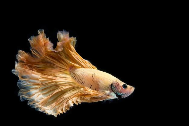 Pesce di betta dell'oro giallo, pesce siamese di combattimento su fondo nero