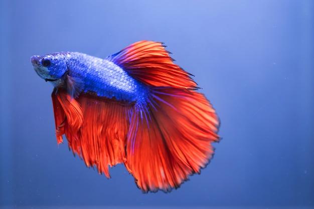 Pesce di betta, pesce siamese di combattimento isolato sul blu