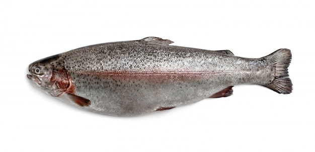 Pesce di fiume trota isolato