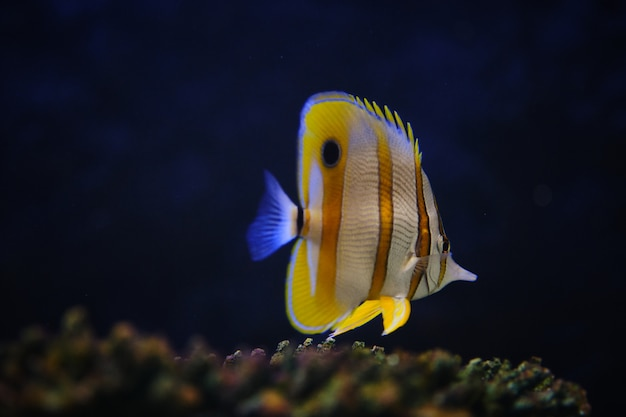 Pesce farfalla copperband (chelmon rostratus) o pesce corallo con becco.