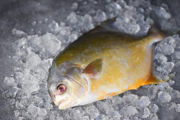 Pesce fresco del pomfret su ghiaccio e fondo nero nel mercato - pesce nero crudo del pomfret