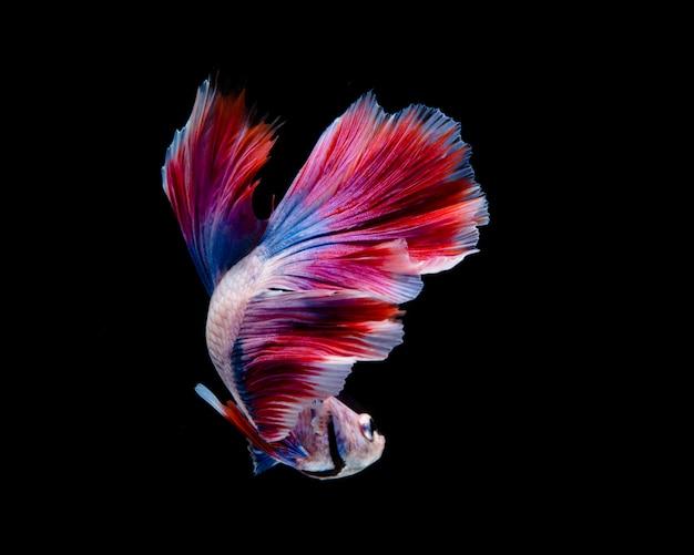 Pesce multicolore di betta, pesce siamese di combattimento su fondo nero