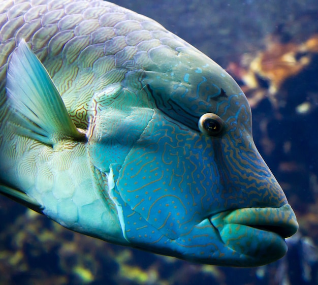 Pesce napoleone