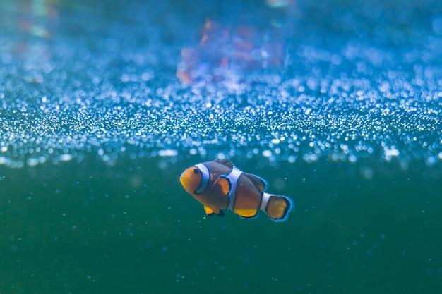 Pesce pagliaccio di ocellaris, anemonefish del pagliaccio, pesce pagliaccio, pesce pagliaccio falso della percula