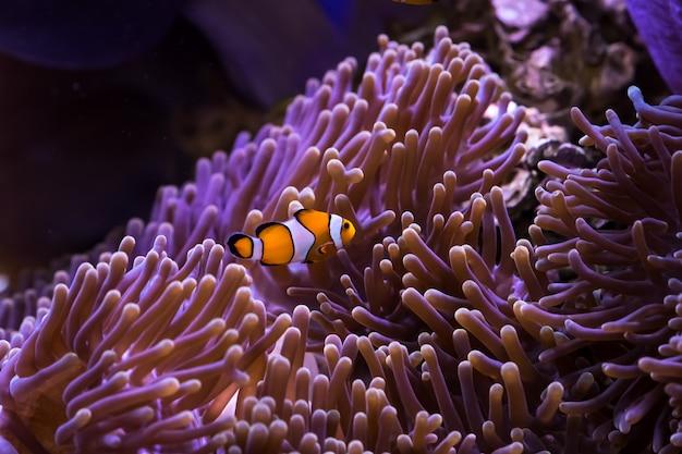 Pesce pagliaccio e anemone di mare