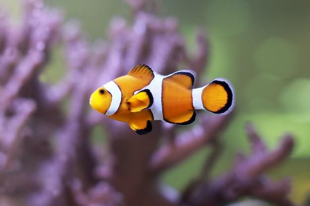 Pesce pagliaccio in un anemone